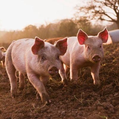 Le Cochon drômois